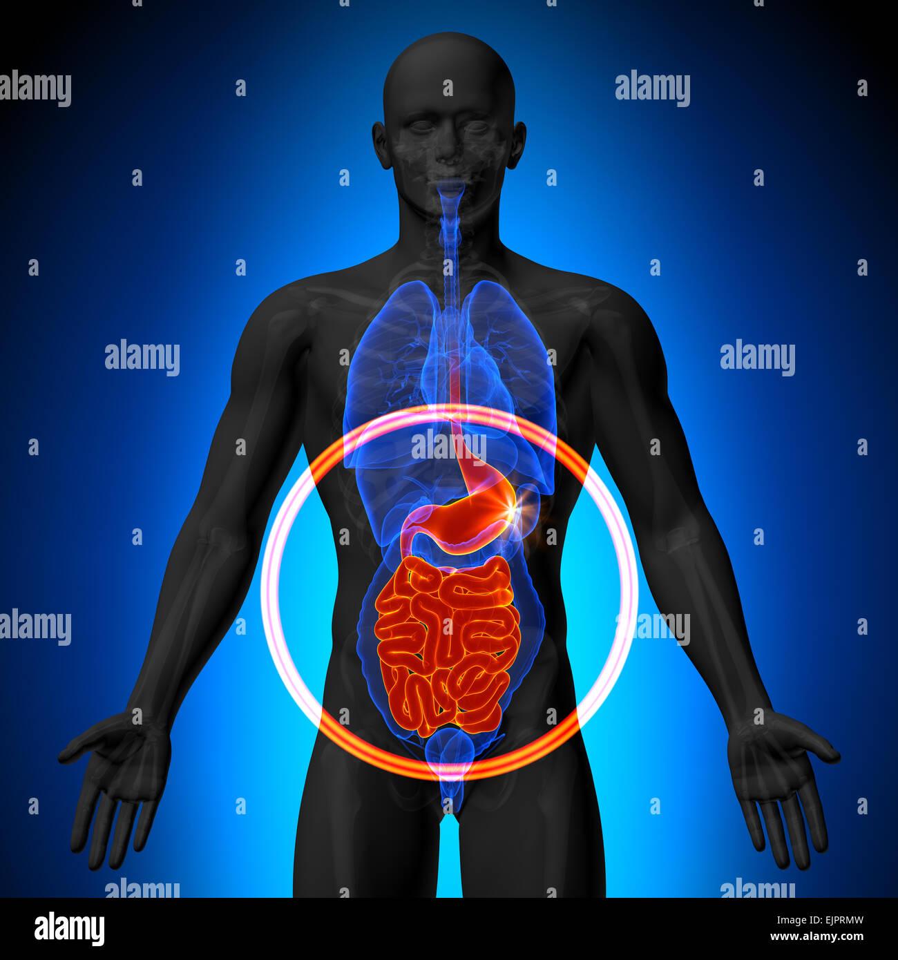 Guts Intestine Stockfotos & Guts Intestine Bilder - Alamy