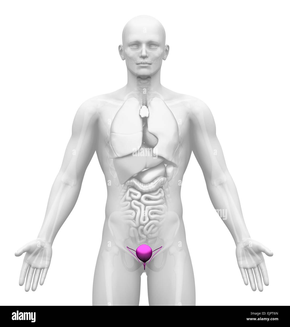 Männlichen Harnblase Anatomie Stockfoto, Bild: 80407229 - Alamy