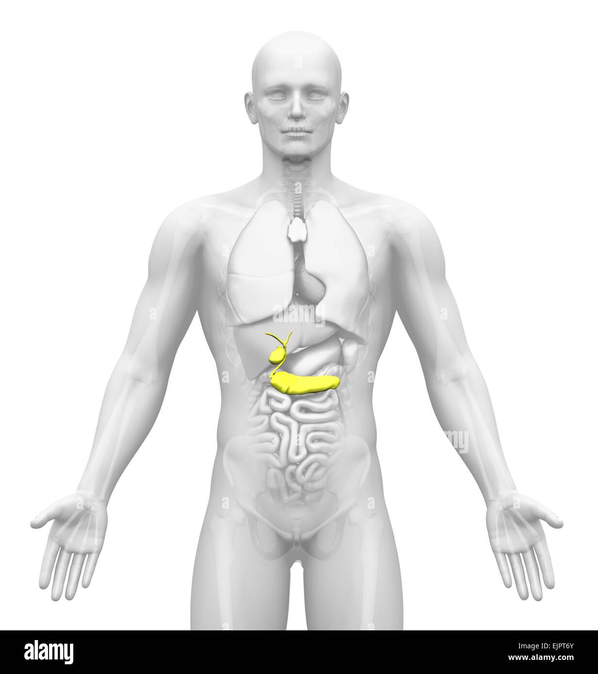 Male Pancreas Stockfotos & Male Pancreas Bilder - Alamy