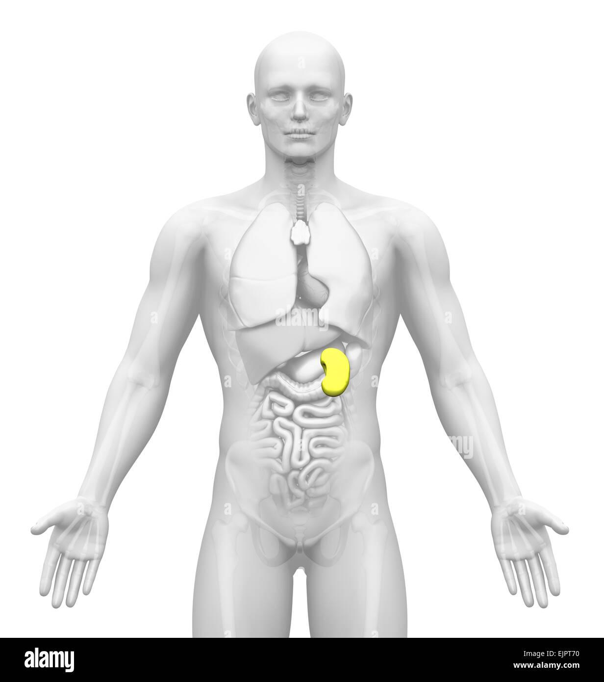 Männliche Milz Anatomie Stockfoto, Bild: 80407236 - Alamy
