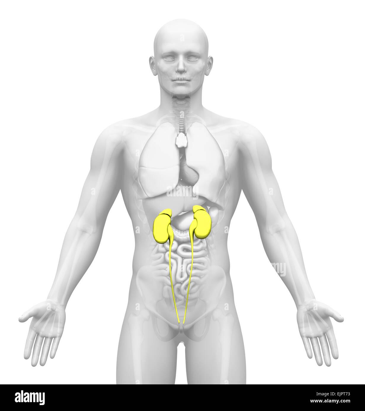 Ziemlich Nieren Bilder Anatomie Bilder - Menschliche Anatomie Bilder ...
