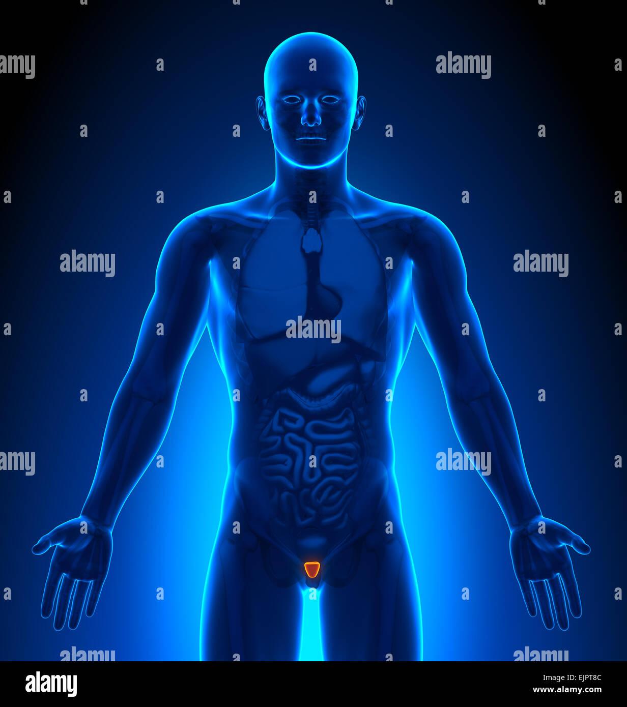 Männliche Prostata Anatomie Xray Sicht Stockfoto, Bild: 80407276 - Alamy