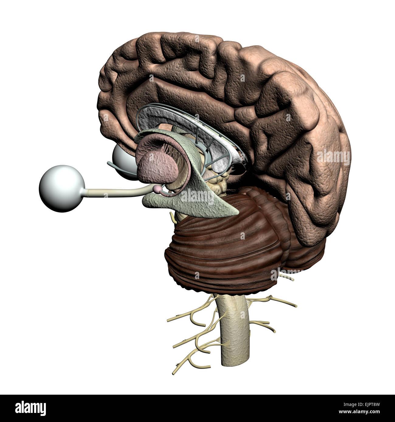 Anatomie Gehirn Querschnitt Stockfoto, Bild: 80407289 - Alamy