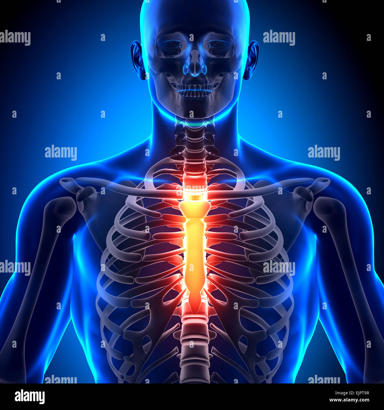 Brustbein - Anatomie-Knochen Stockfoto, Bild: 80407315 - Alamy