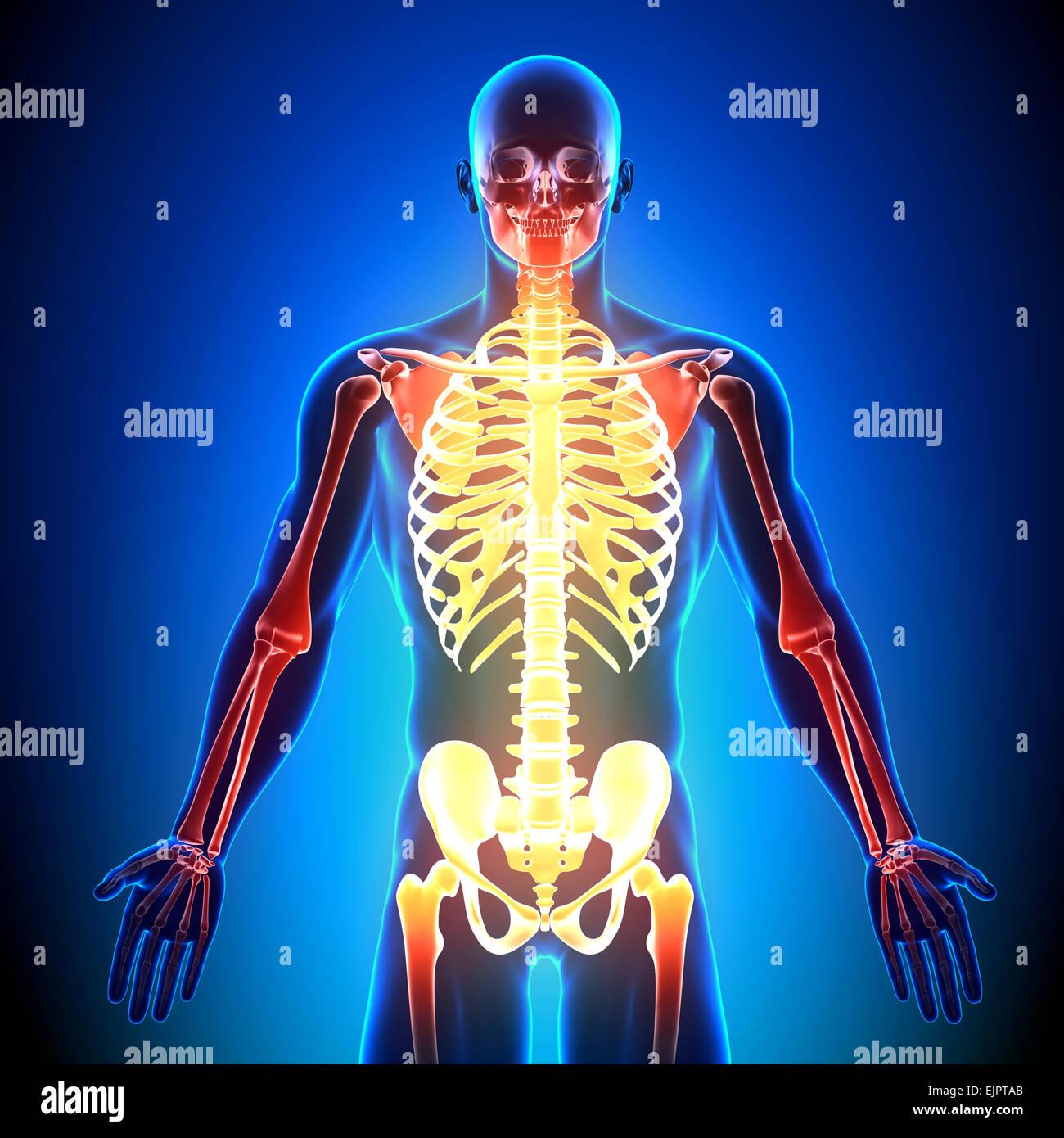 Tolle Atlas Knochenanatomie Ideen - Menschliche Anatomie Bilder ...