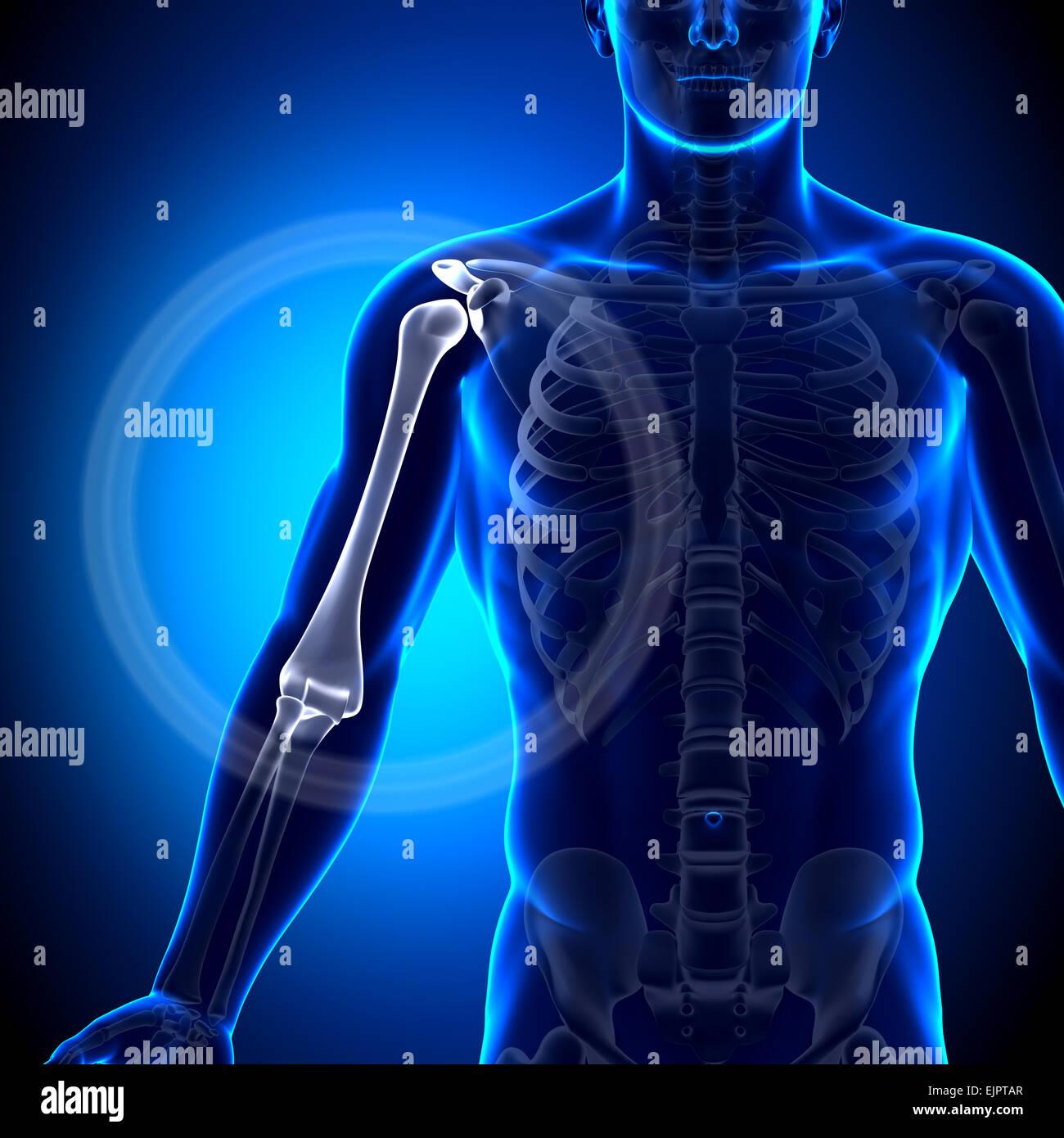 Männliche Humerus / Arm Anatomie - Anatomie-Knochen Stockfoto, Bild ...