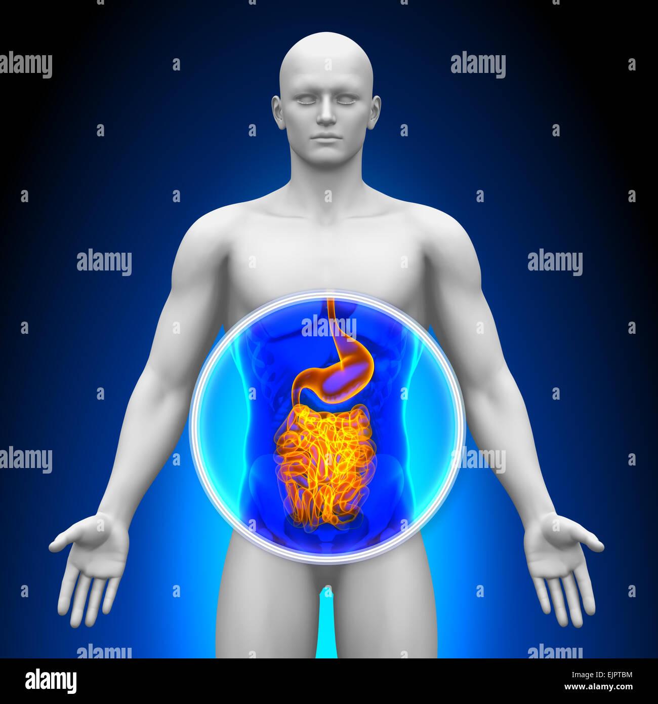 Mut - männliche Organe - Anatomie des Menschen Stockfoto, Bild ...