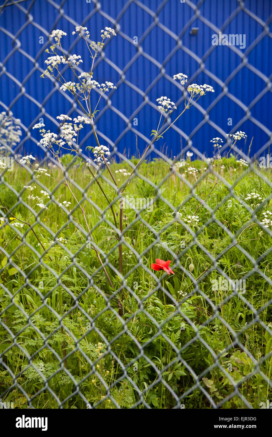 Mohn und anderen Pflanzen durch Maschendrahtzaun Wand blaue Fabrik ...