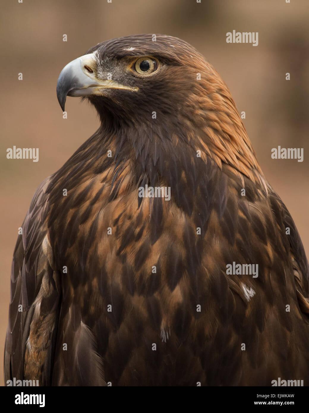 Ein Porträt von einem goldenen Adler. Stockbild