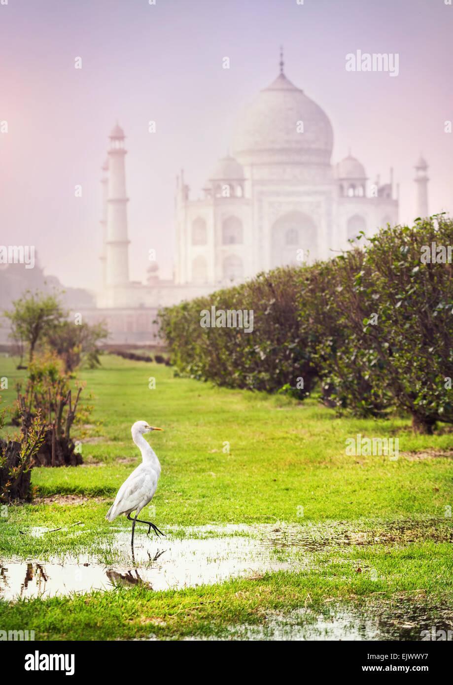 Weißer Reiher im Mehtab Bagh Garten mit Taj Mahal in Agra, Uttar Pradesh, Indien Stockbild