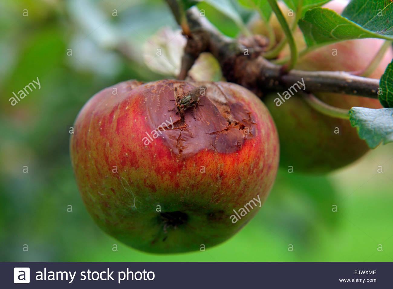 Spannungsrisse im Zusammenhang auf Apple und nachfolgende Infektionen durch Pilze Stockbild