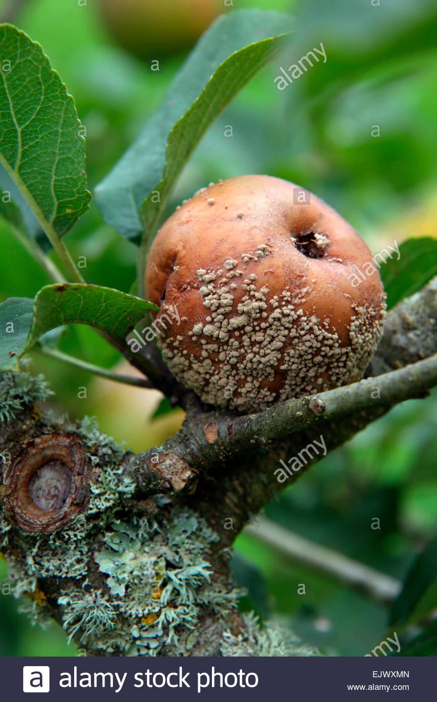 Monilinia Fructigena - Braunfäule-Krankheit auf Apple Stockbild
