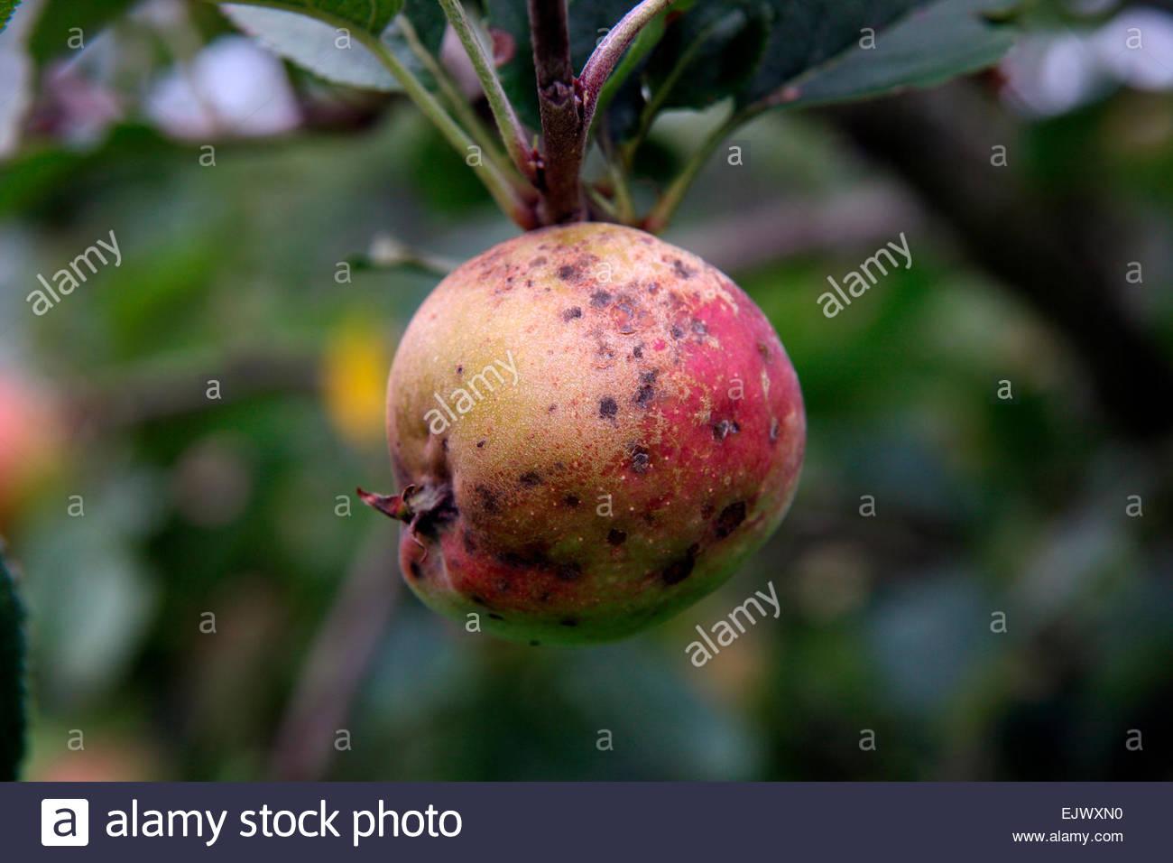 Berostung und Apple Schorf auf Reife Apfelfrucht - Venturia inaequalis Stockbild
