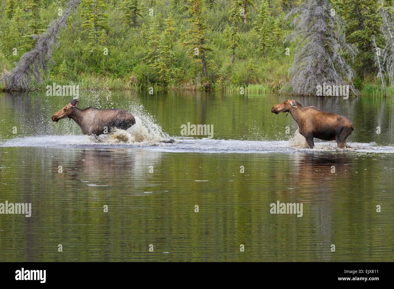 Elch Auseinandersetzung im Denali-Nationalpark, Alaska Stockbild