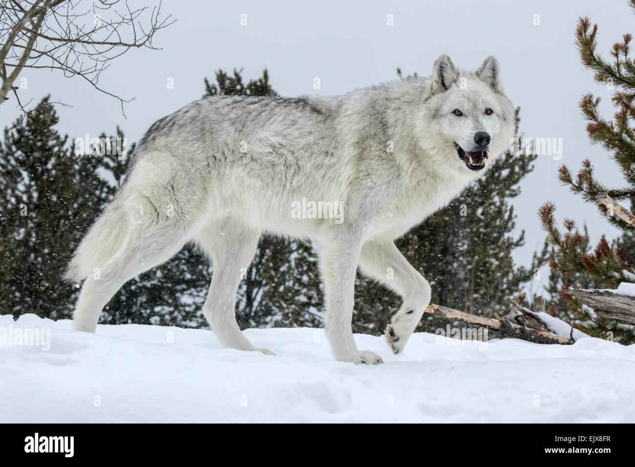 Grauer Wolf im Winterschnee Stockbild