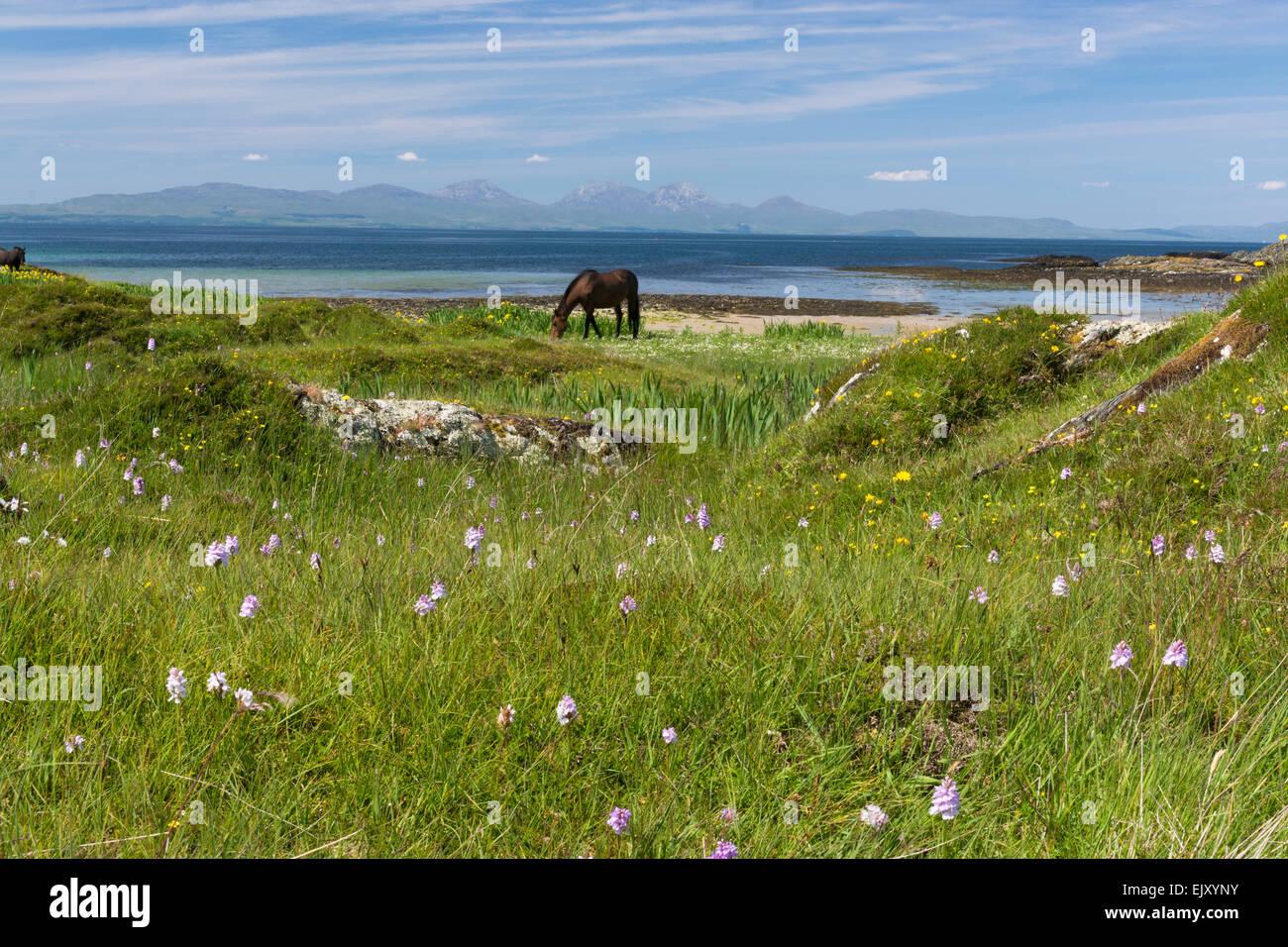 Pferde grasen friedlich am Strand Ufer gigha Stockbild