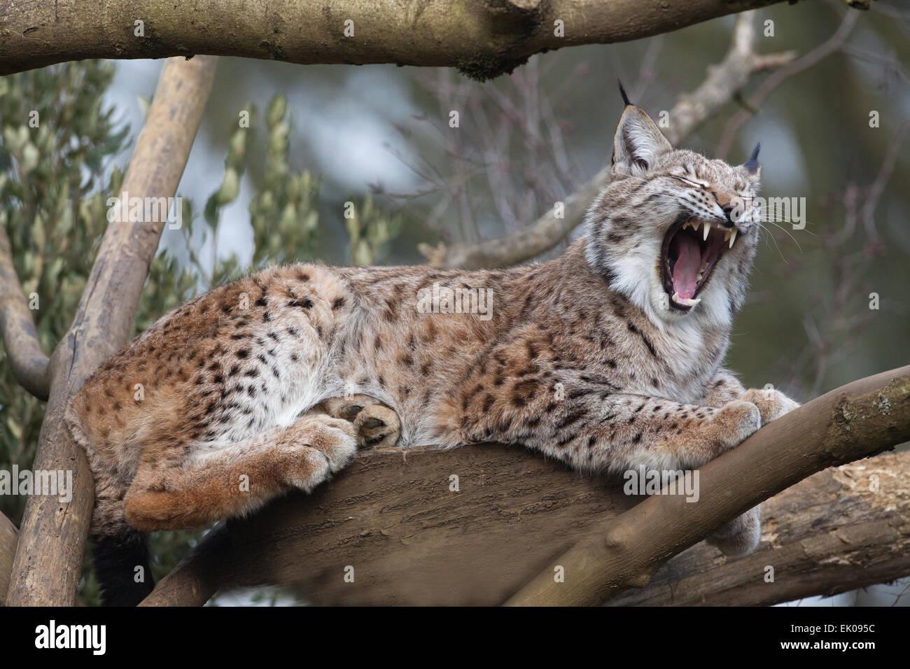 Europäische Luchs (Lynx Lynx). Umstritten, aber als eine Spezies für Wiedereinführung, Re-Wilding Stockbild