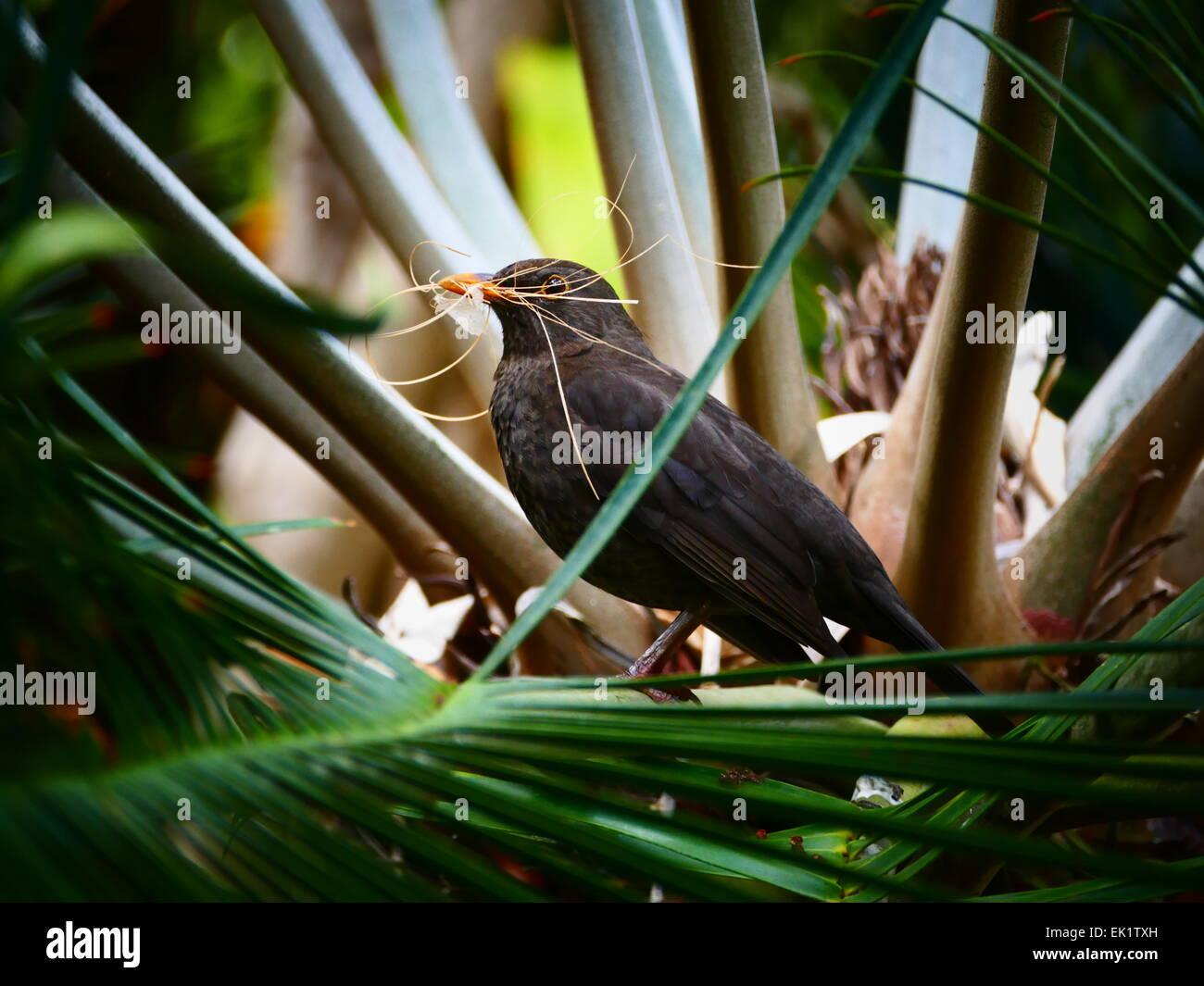 Spanien-Kanarische Inseln Teneriffa Puerto De La Cruz Botanic Garden Park Jardin Botanico Krähe Rabe mit Blättern Stockbild