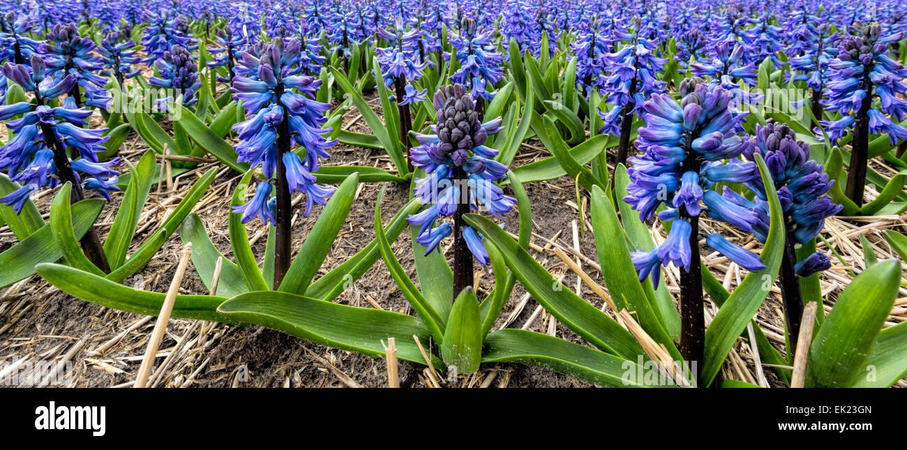 Frühling Zeit: Panoramablick auf Blaue Hyazinthen (Asparagaceae), Blüte in Voorhout, Südholland, Stockbild