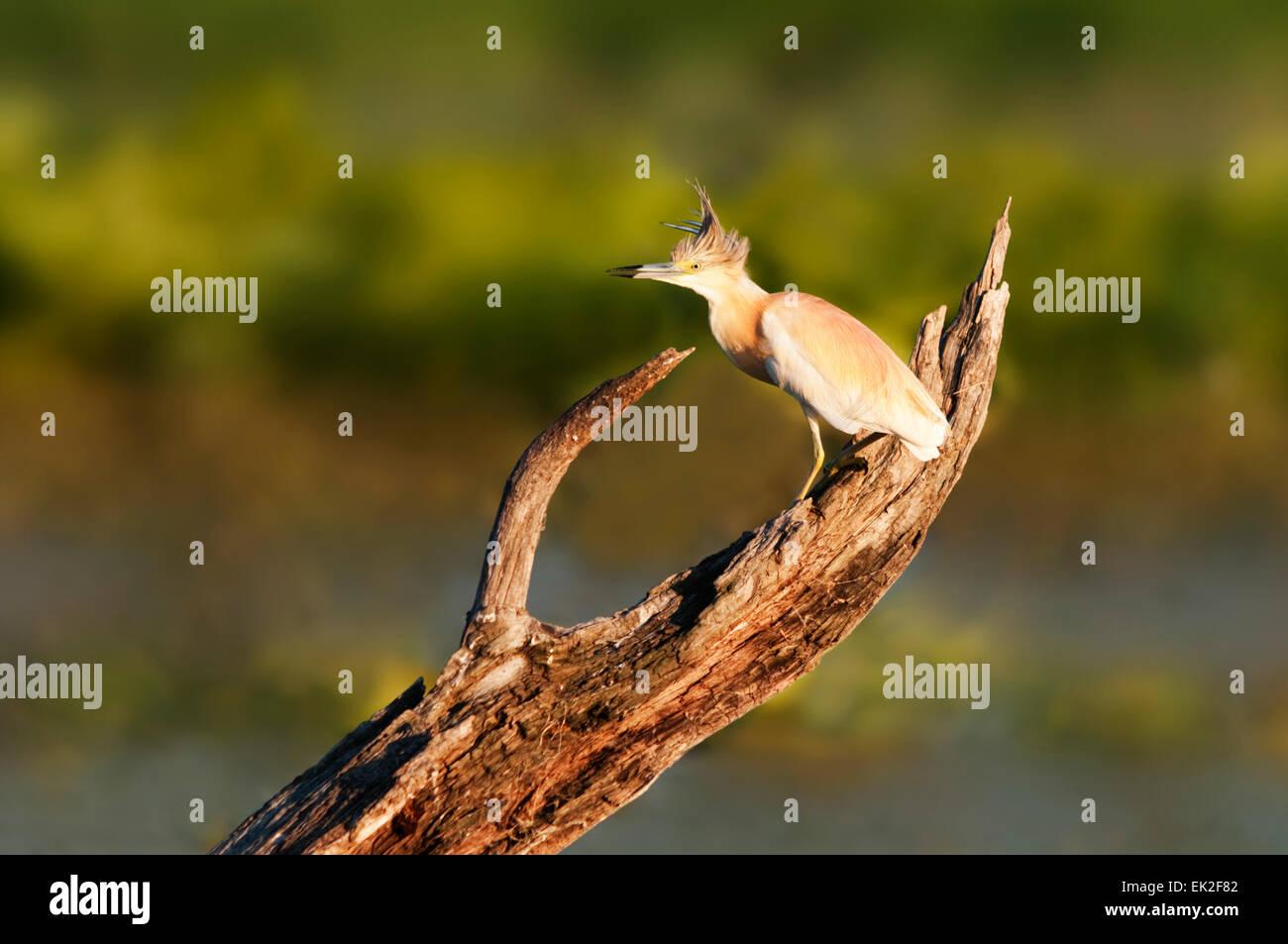 Ein Rallenreiher auf einem Baumstamm in einem Sumpf Stockfoto