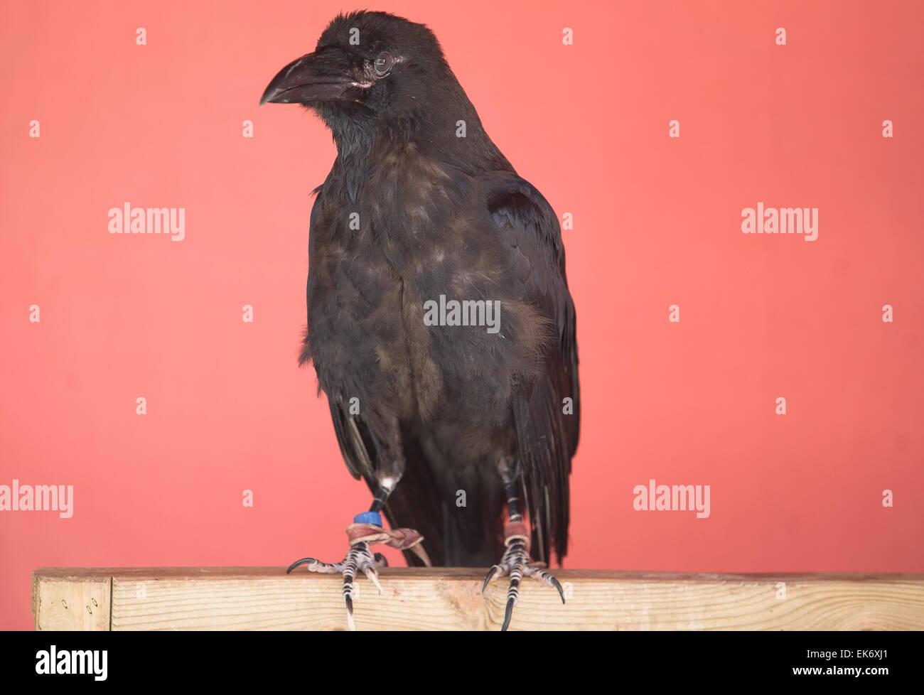 Der Kolkrabe (Corvus Corax), auch das nördliche Raven oder schwarze Krähe bekannt, eine große, schwarze Stockbild