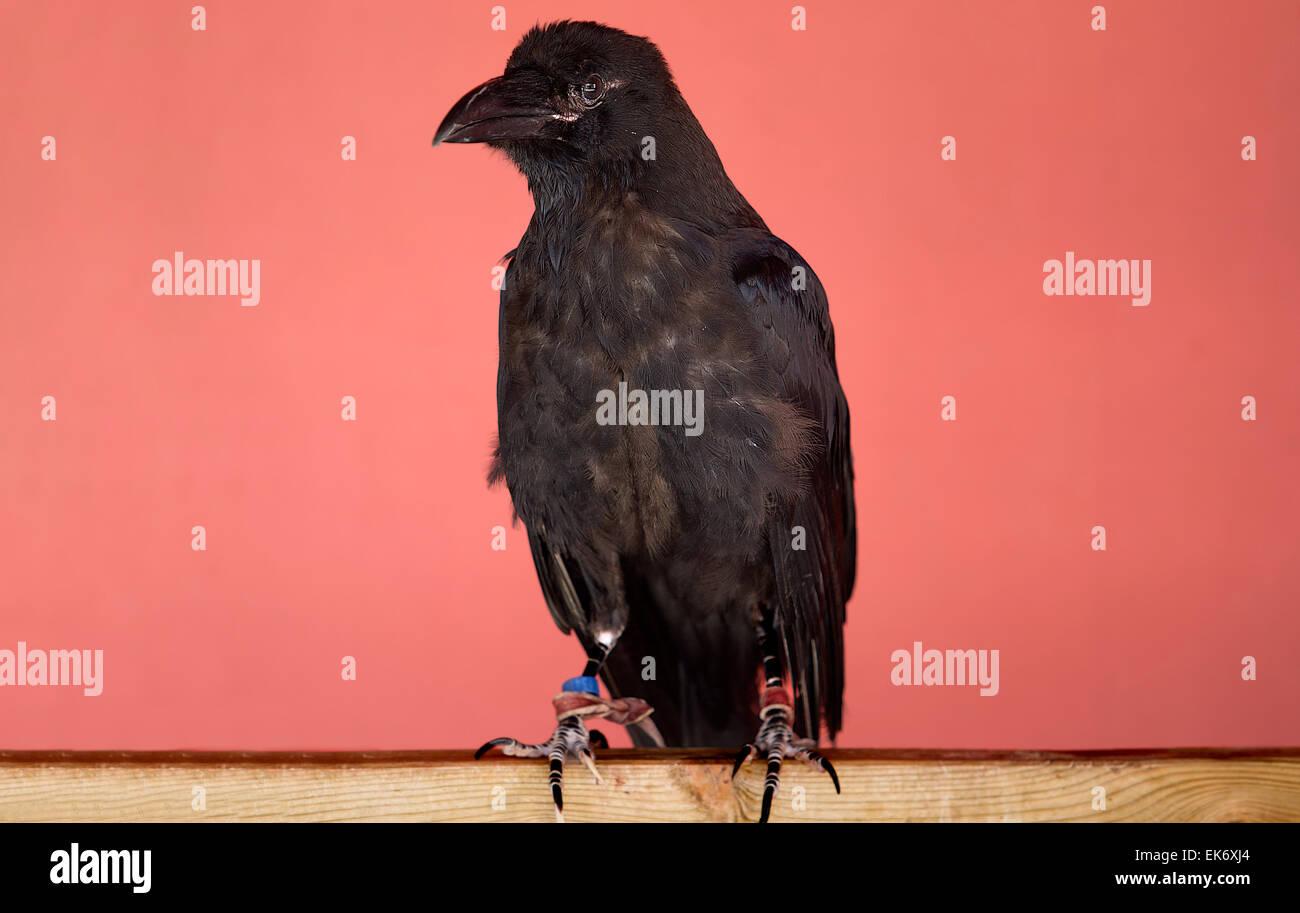 Der Kolkrabe (Corvus Corax), auch das nördliche Raven genannt, ist eine große, schwarze Säugetierart. Stockbild
