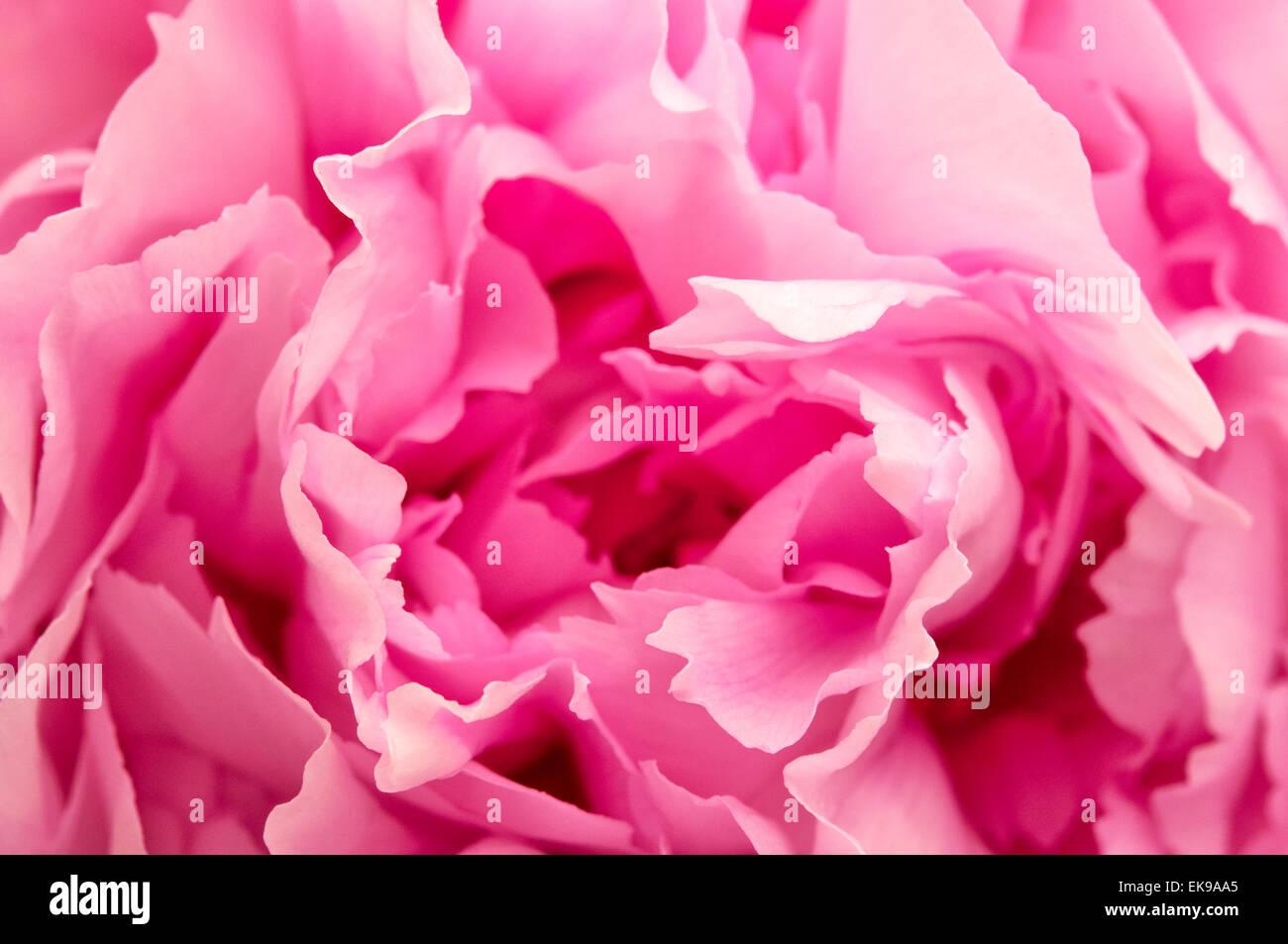 Nahaufnahme Bild von einer rosa Pfingstrose Stockbild