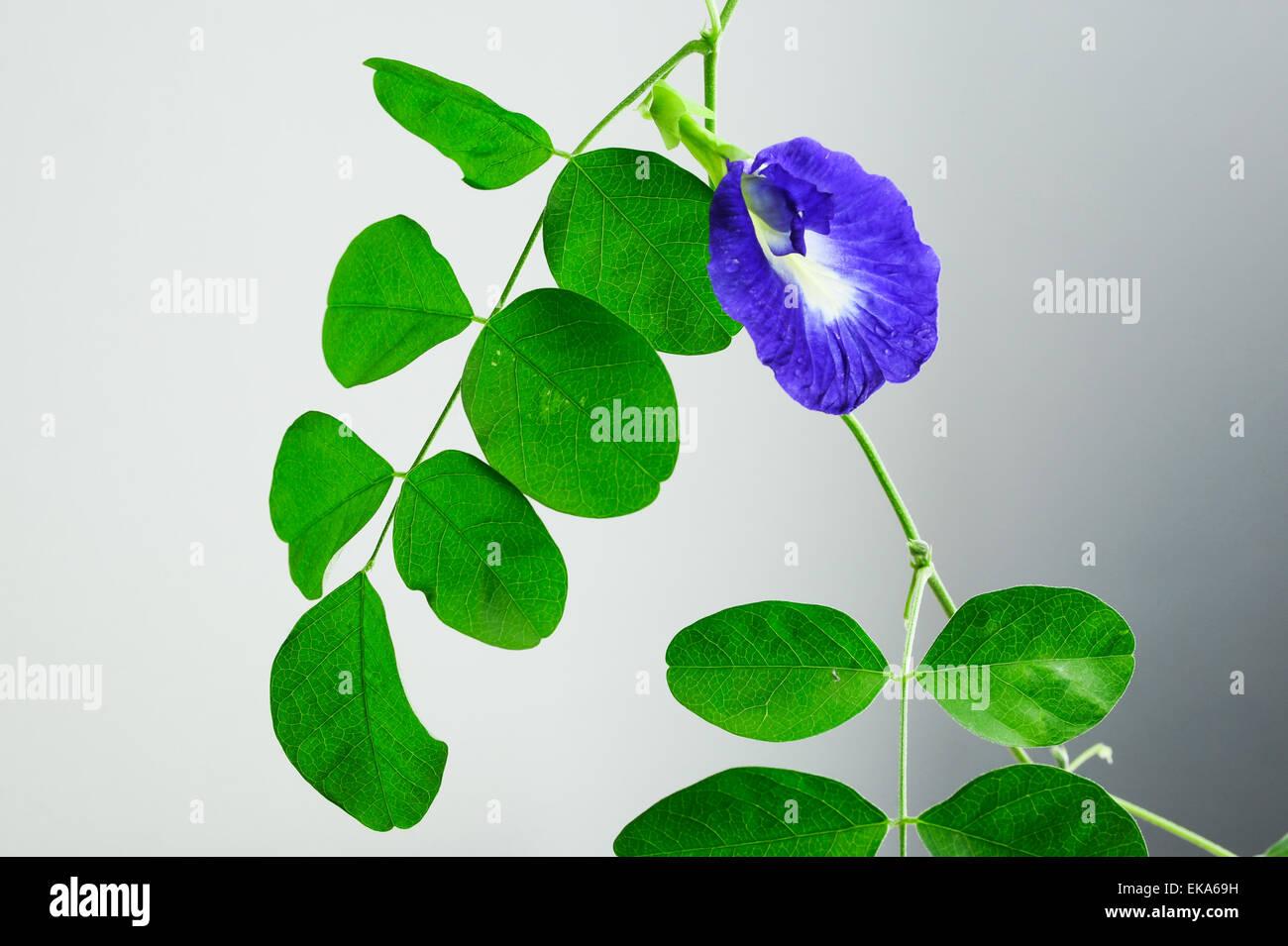 Butterfly Pea Flower Stockfotos & Butterfly Pea Flower Bilder - Alamy
