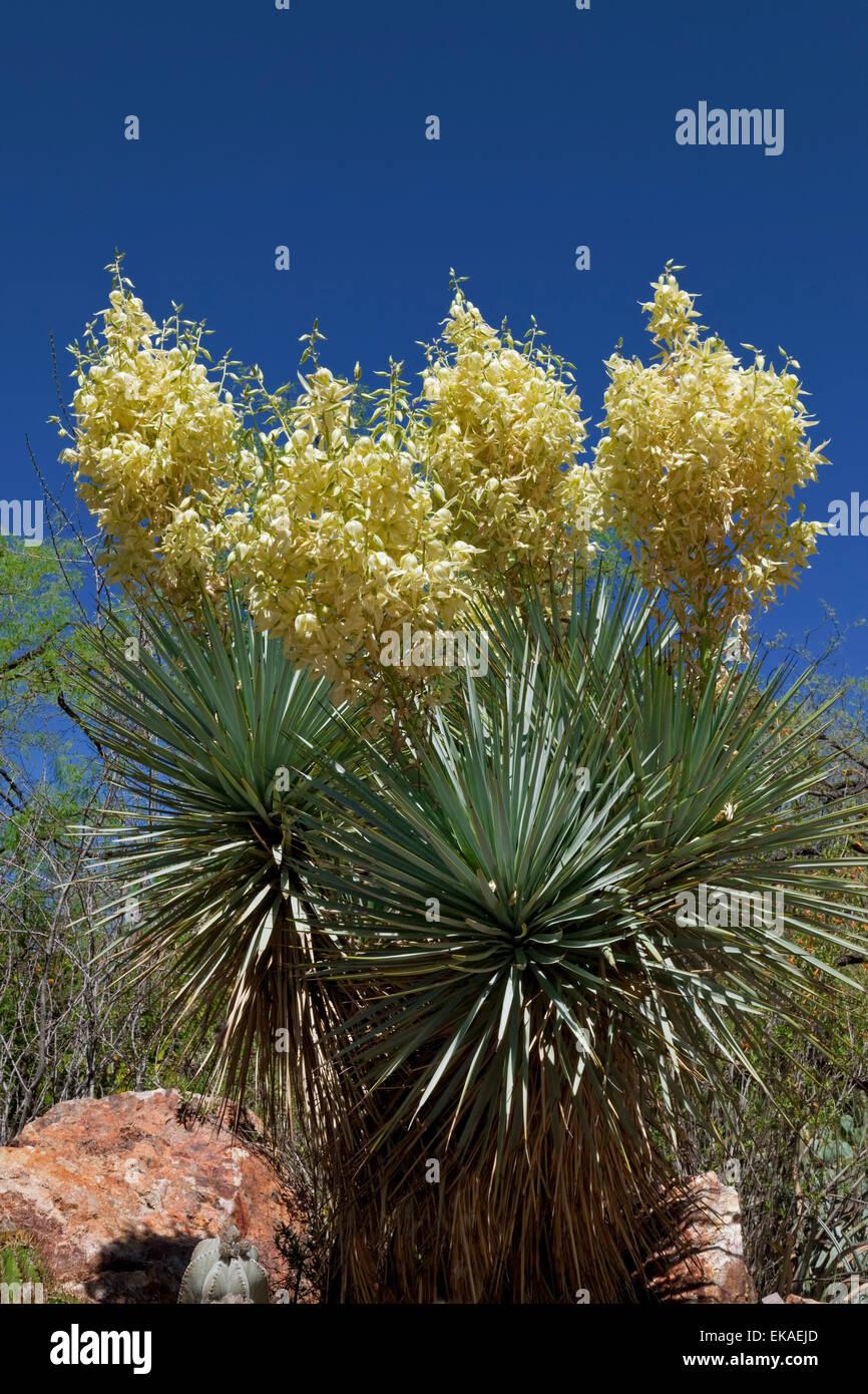 Blaue Yucca - Yucca Rigida - Chihuahua, Mexiko Yucca ist eine Gattung der mehrjährige Sträucher und Bäume Stockbild