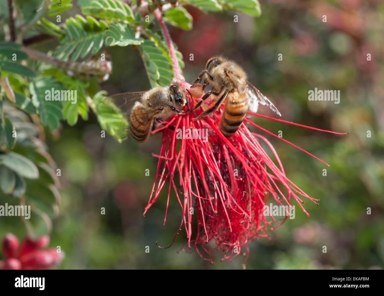 Honig Bienen Polinating Mimosa - Calliandra sp. Stockbild