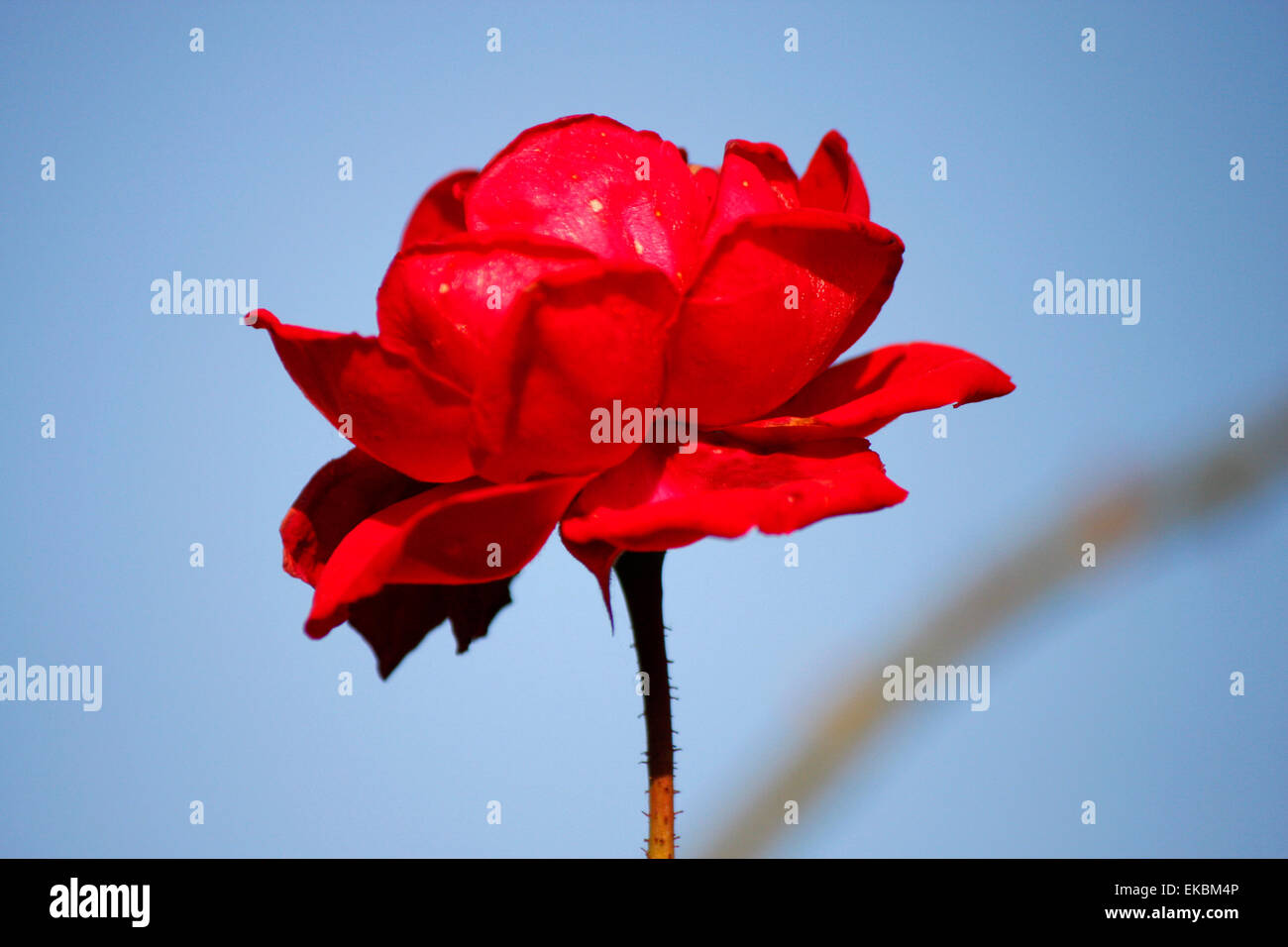 Eine rote Rose Stockbild