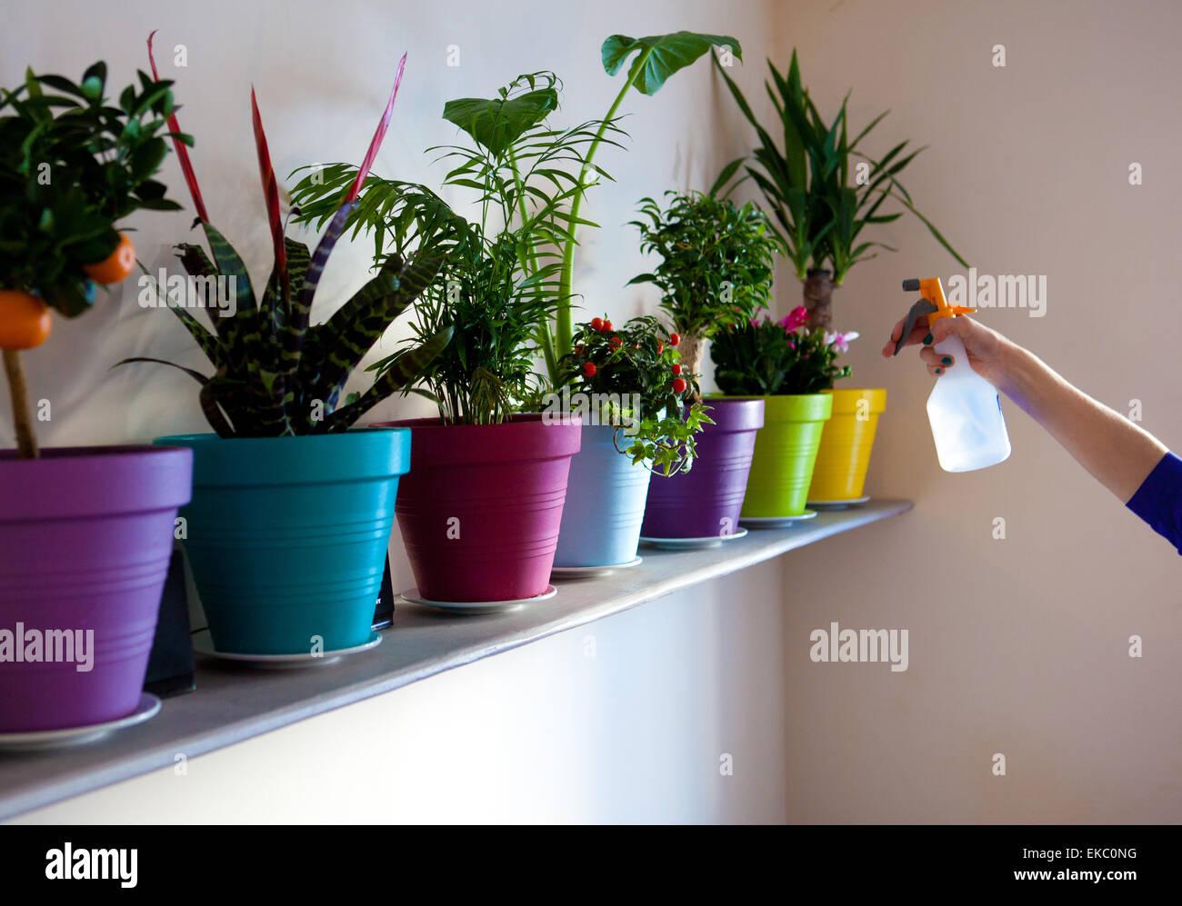 Hand der Frau Reihe von Topfpflanzen mit Wasser besprühen Stockbild