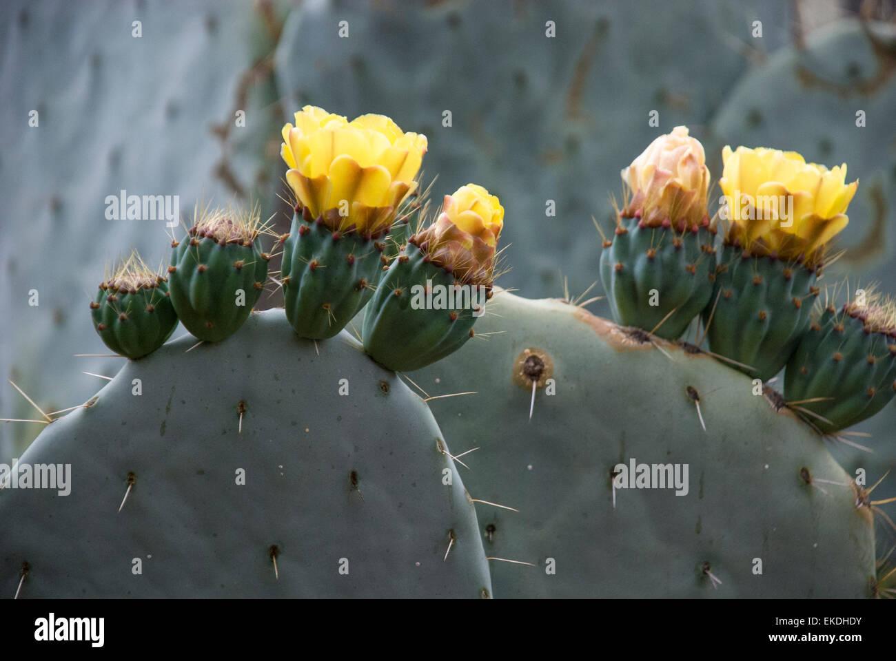 Feigenkaktus, Opuntia, mit gelben Blüten. Stockbild