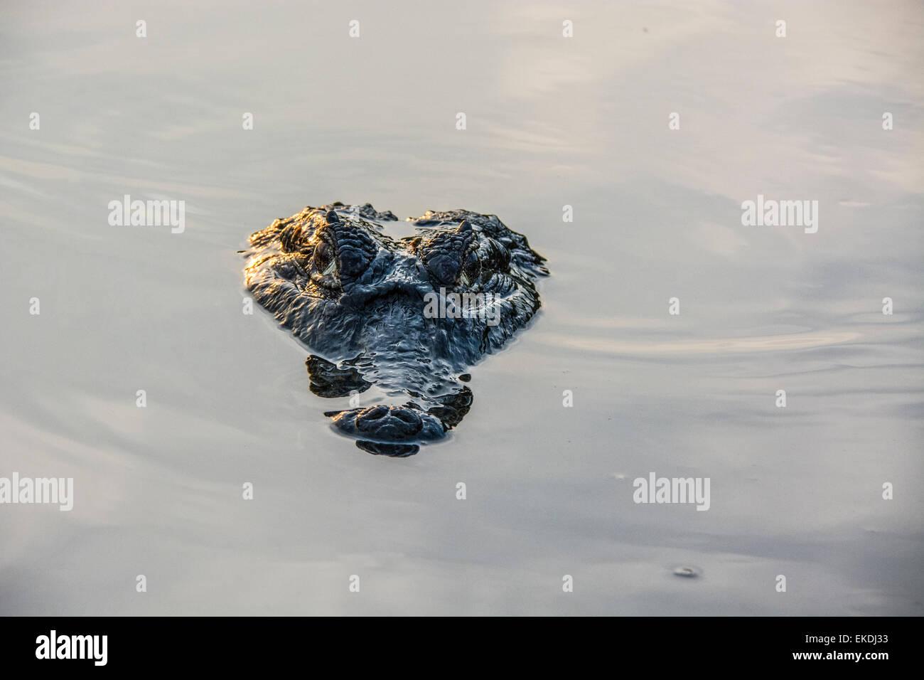 Unheimliche Kopf ein Yacare Caiman, Caiman Crocodilus Yacare, in einem Fluss im Pantanal, Mato Grosso, Brasilien, Stockbild