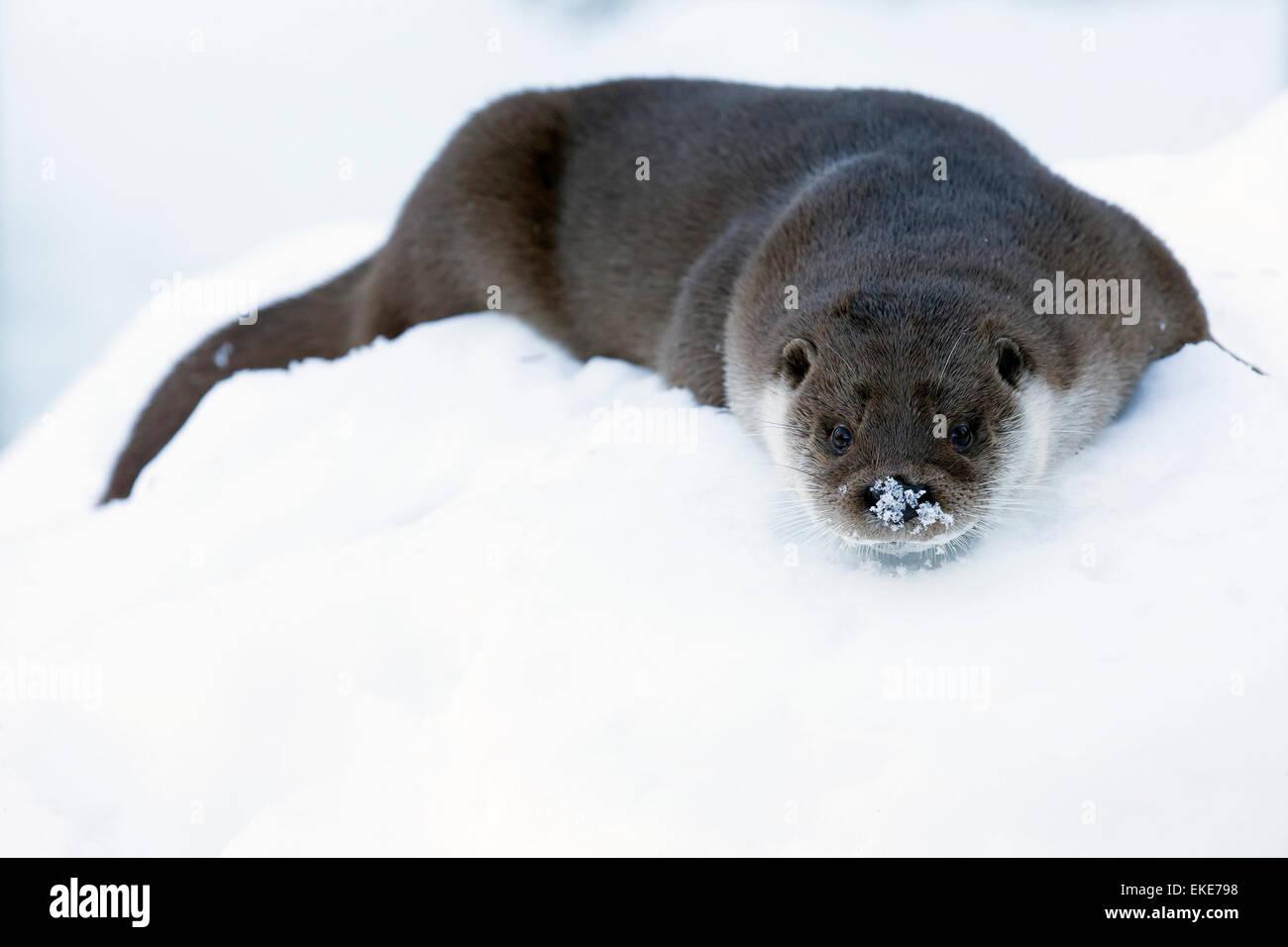Europäische Otter (Lutra Lutra) trocknen ihr Fell durch das spielen und reiben im Schnee Stockbild