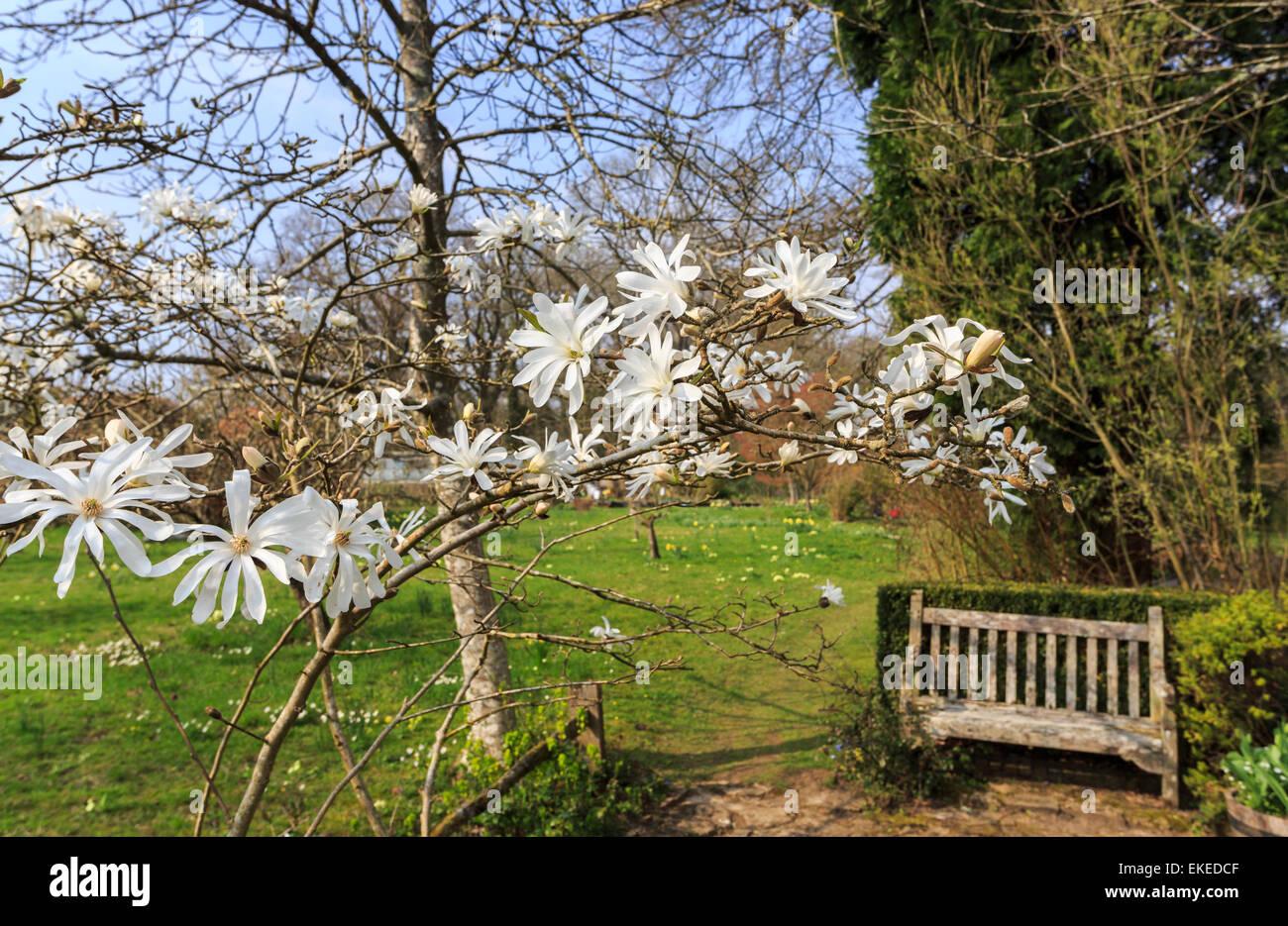 White Magnolia Stellata Und Holz Garten Sitzbank Im Garten Von Vann Haus In  Der Nähe Von Chiddingfold Und Hambledon, Surrey, UK Im Frühling