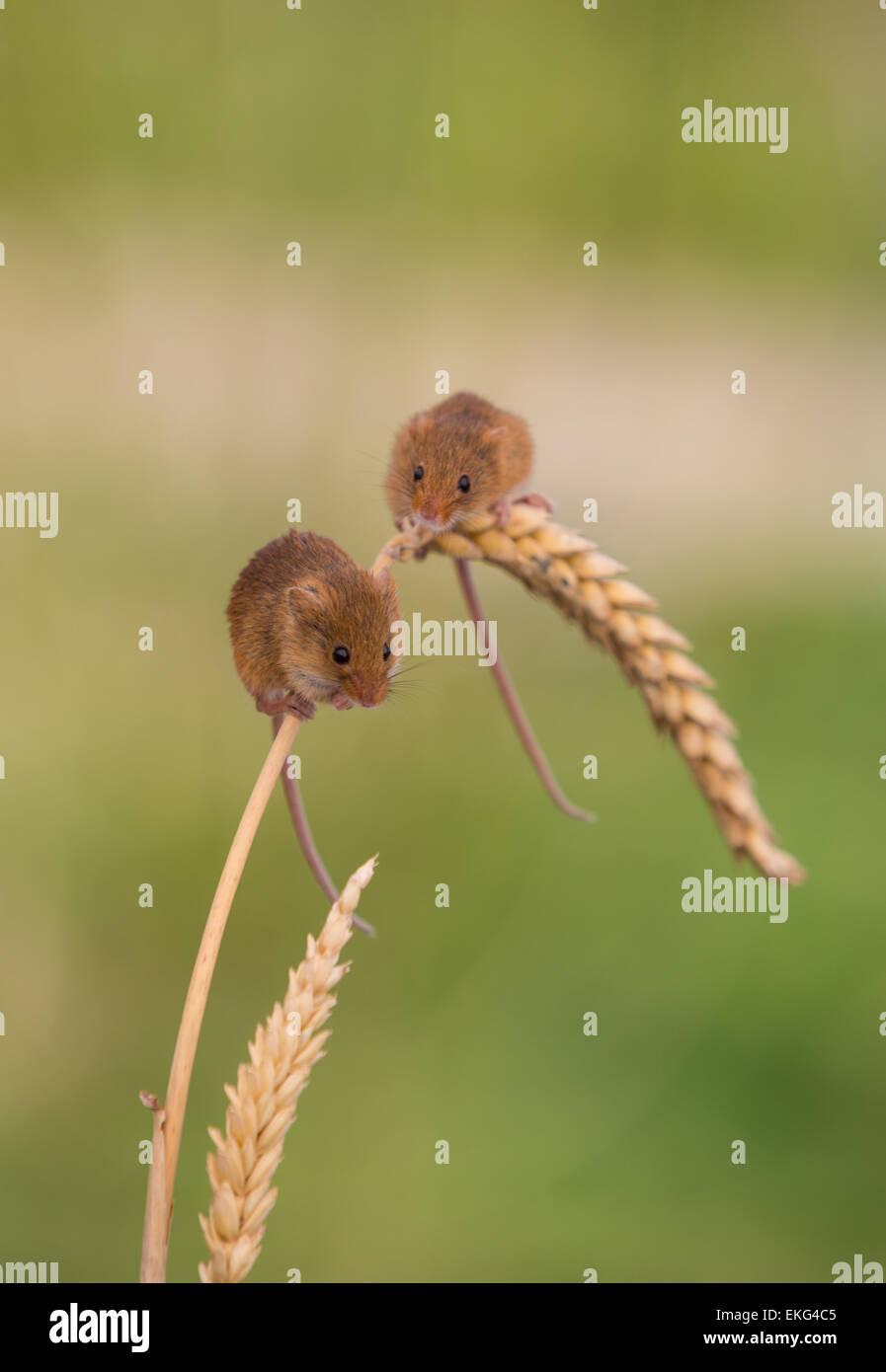 Ernte-Mäuse auf Weizen Stockbild