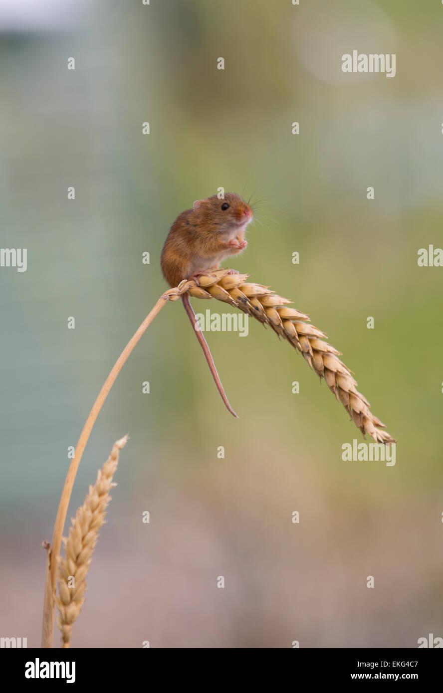 Einsame Zwergmaus auf Weizen Stockbild