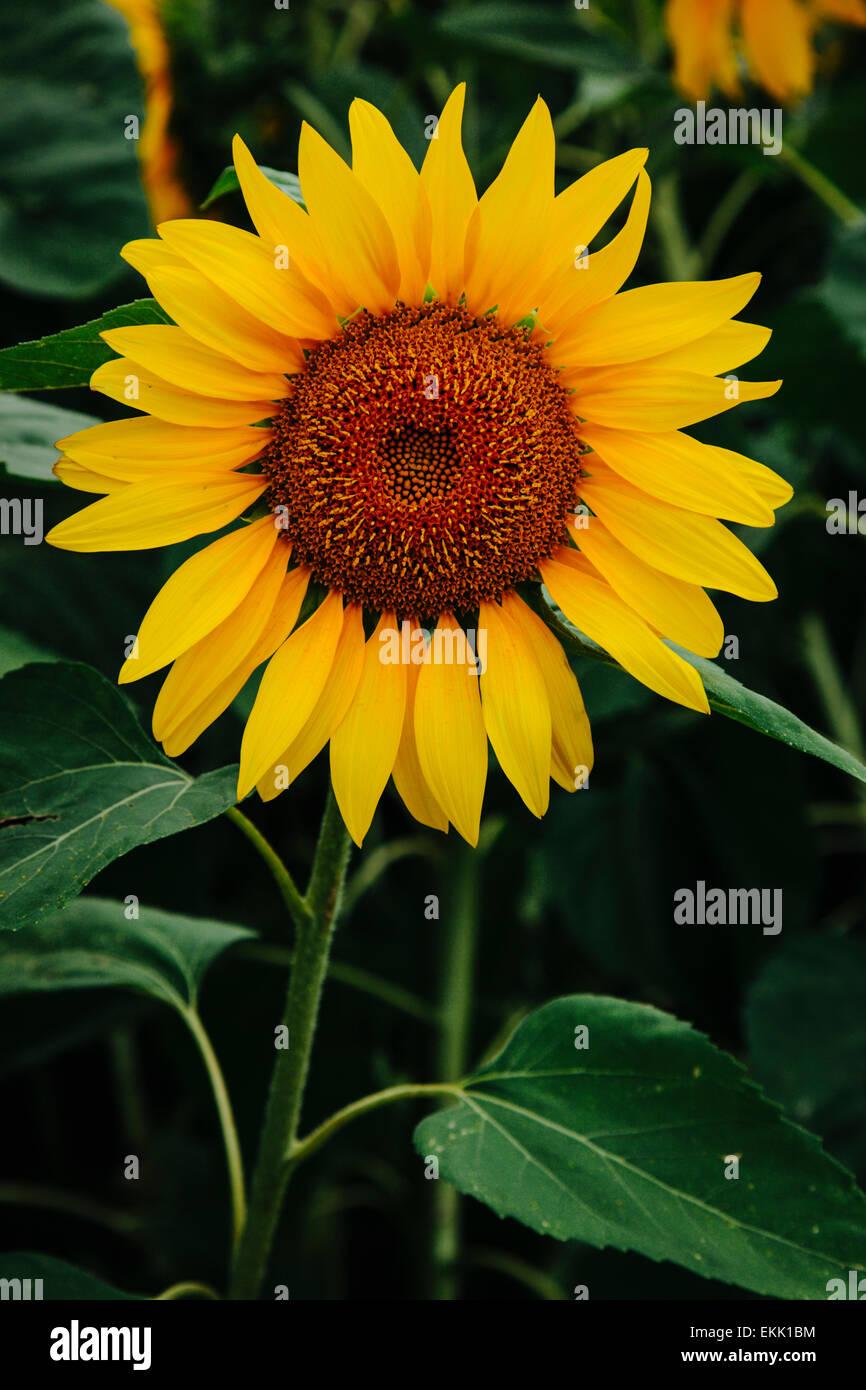 Sonnenblume, Sonnenblumen Stockbild