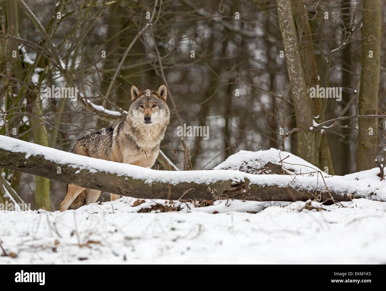Wolf (Canis Lupus) im winter Stockbild