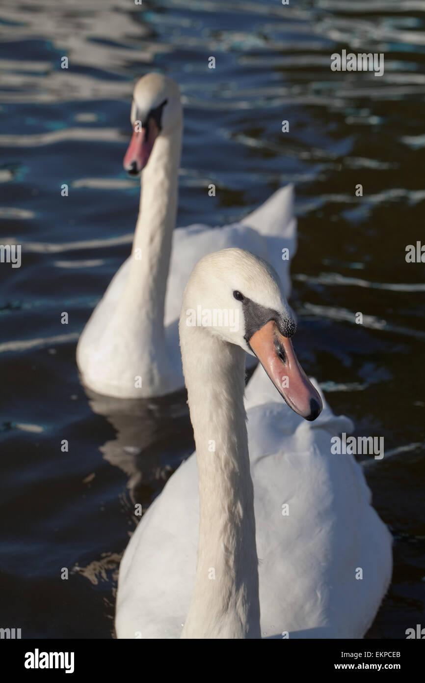 Höckerschwäne (Cygnus Olor). Keiner-brütende Vögel warten auf Essen Handouts von menschlichen Stockbild
