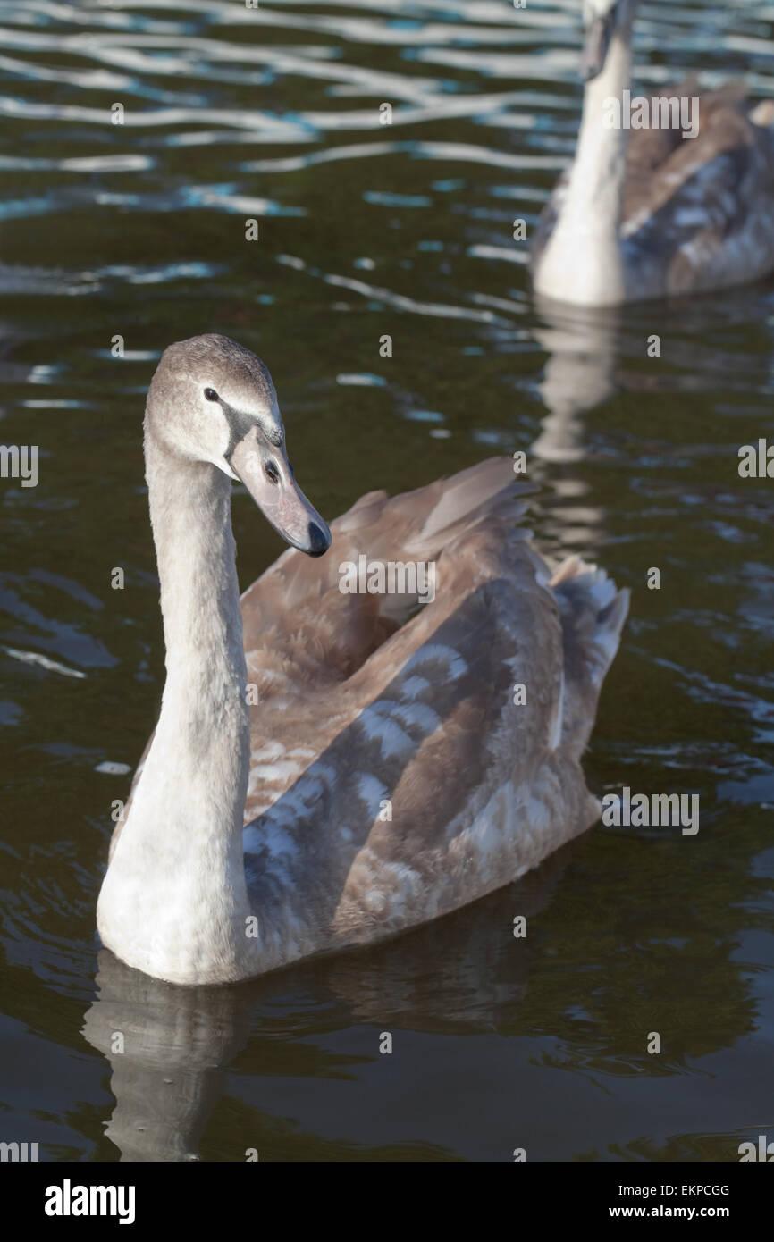 Höckerschwan Cygnus Olor. Junge, juvenile, unreif, Cygnet des Jahres Vogel Essen Hand-outs aus menschlichen Stockbild