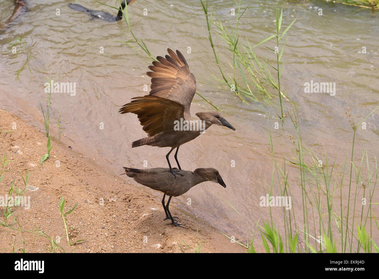 Hamerkop Vögel zu Paaren, die versuchen, in den weltberühmten Krüger Nationalpark, Mpumalanga, Südafrika. Stockbild