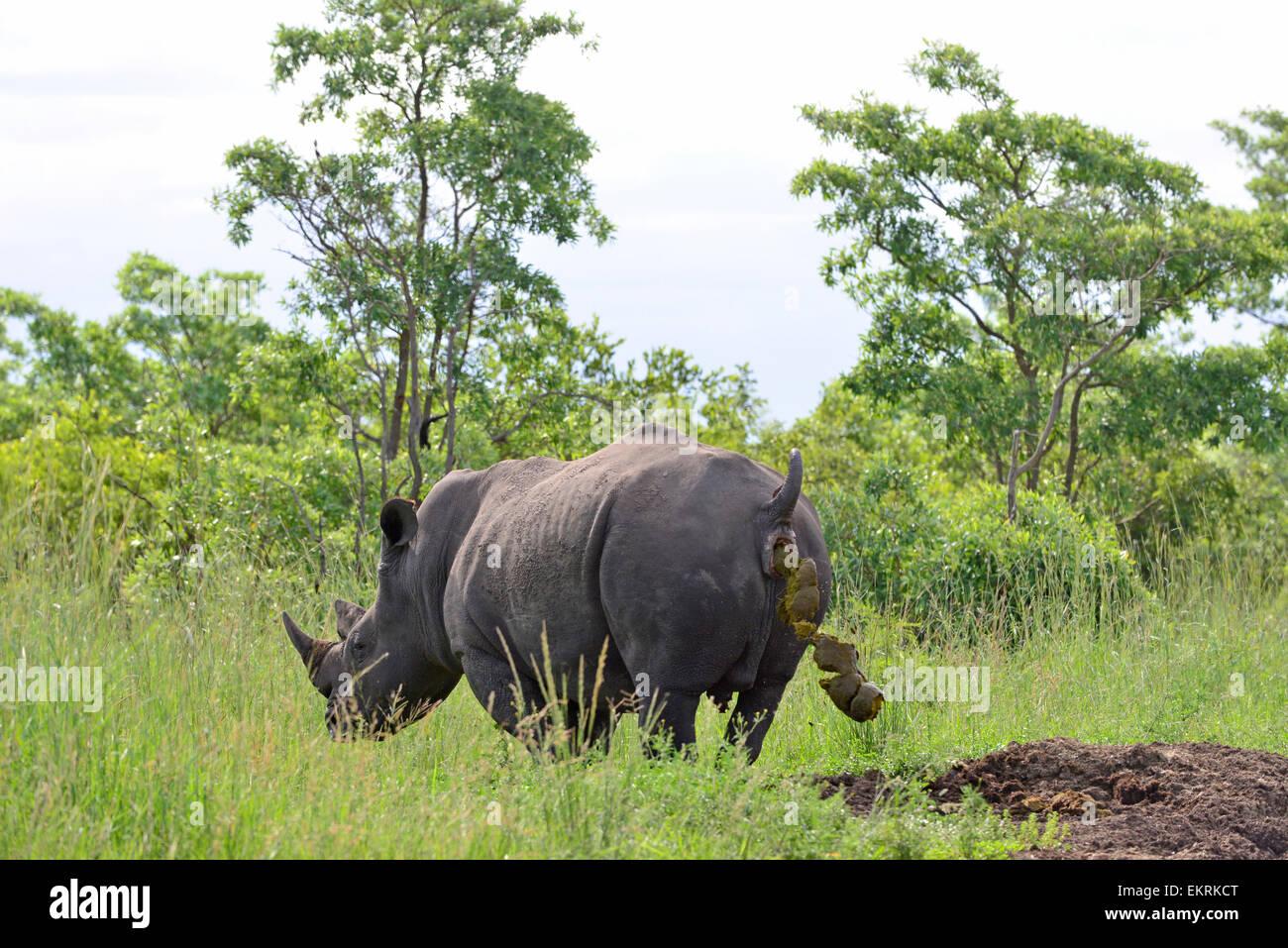 White Rhino, Rhinocerotidae), Defecating auf Rhino midden in den weltberühmten Krüger Nationalpark, Mpumalanga, Stockbild