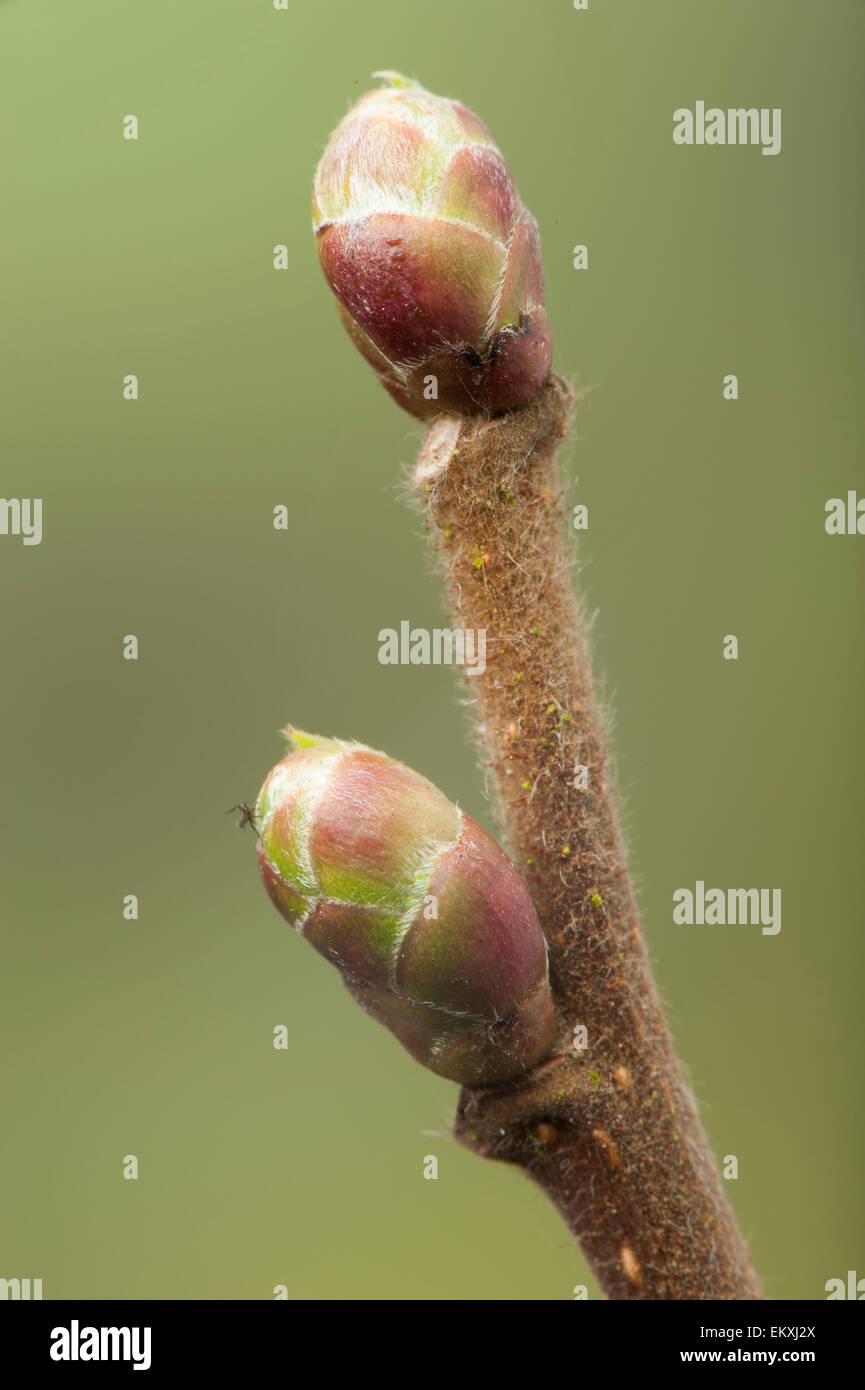 Knospe, Bud, Trieb, Triebspitze, schießen, schießen junge, Bluete, Blossom, Bloom, Salix Alba Stockbild