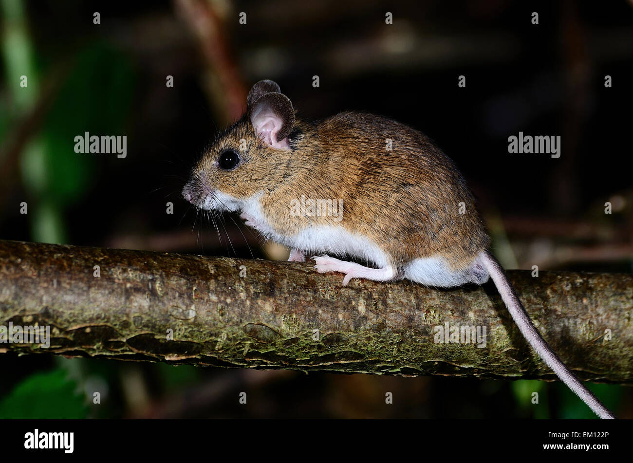 mouse in a stockfotos mouse in a bilder seite 2 alamy. Black Bedroom Furniture Sets. Home Design Ideas