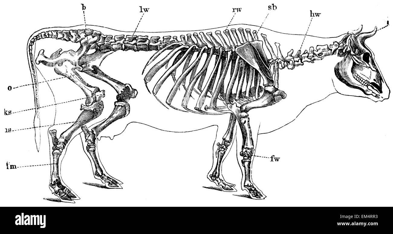 Kuh: Skelett Stockfoto, Bild: 81241079 - Alamy