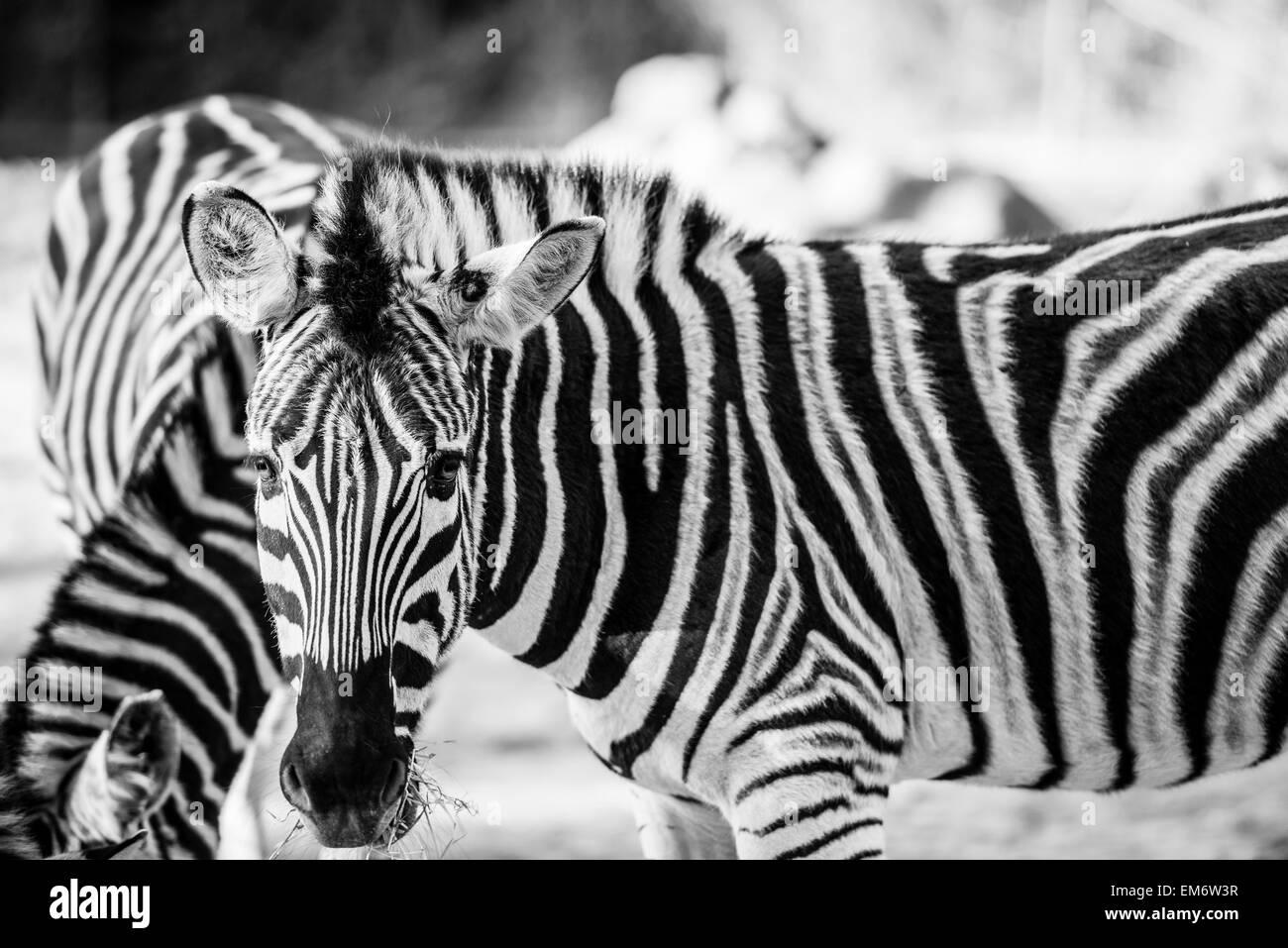 Horse White Stripe Stockfotos & Horse White Stripe Bilder - Alamy