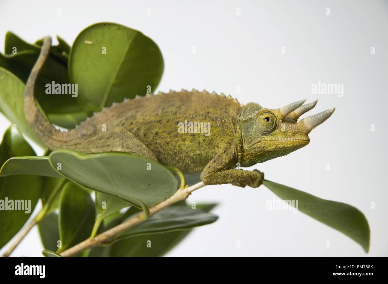 Jacksons Chamäleon hängen an grüner Baum Blätter Stockfoto