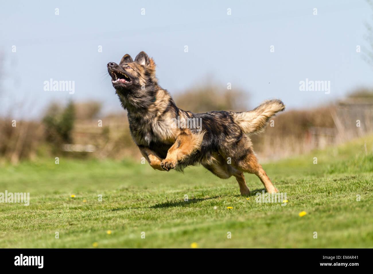 Deutscher Schäferhund läuft über Grass Prellen. Stockbild